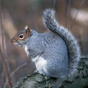 Grey Squirrel, copyright Tom Ennis