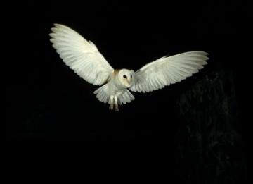 In headlights © Barn Owl Trust