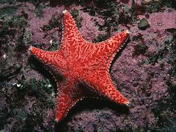 Red Cushion Star © Bernard Picton
