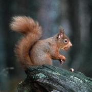 Red Squirrel, copyright Tom Ennis