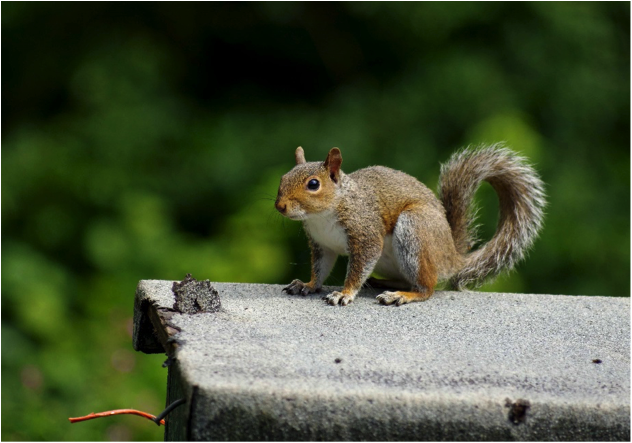 Grey Squirrel © Gillian Day