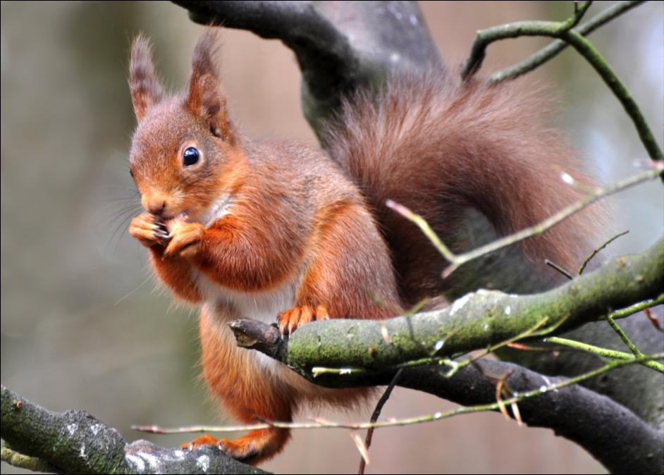 Red Squirrel © Joe Kilroy