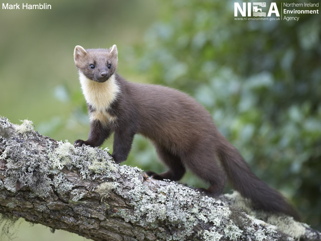 Pine Martens In Northern Ireland Cedar Online Recording