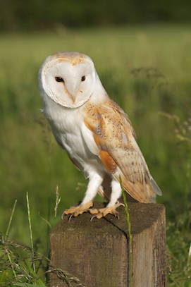 Barn Owl © Richard Bowler