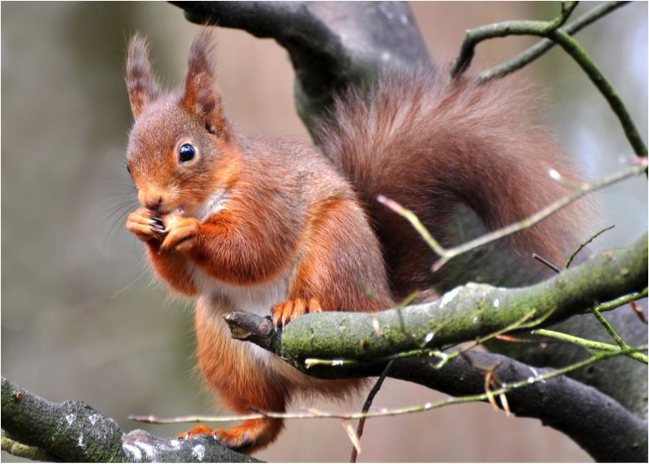 Red Squirrel © Joe Kilroy